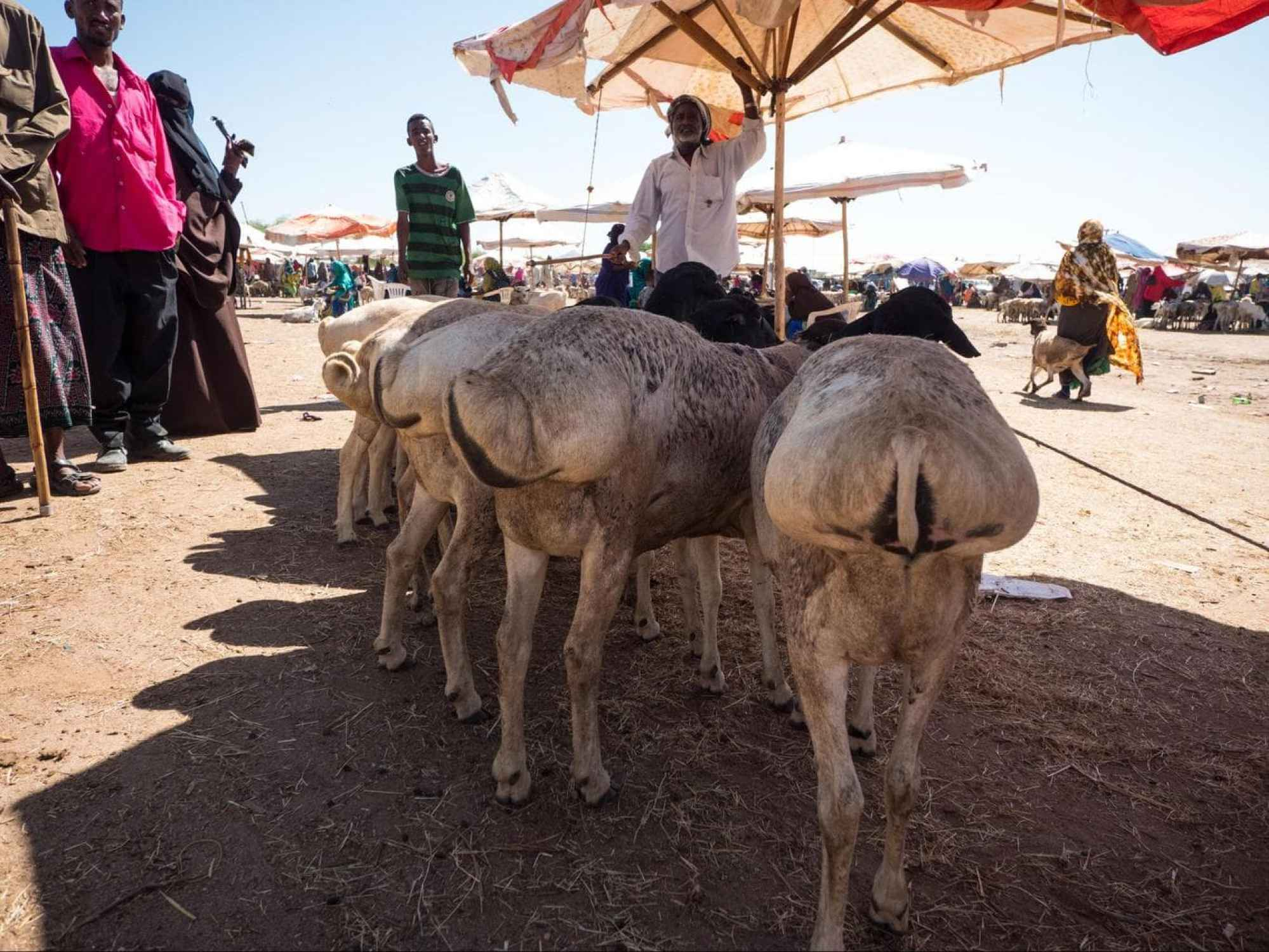 Somali goats at the Hargeisa livestock market
