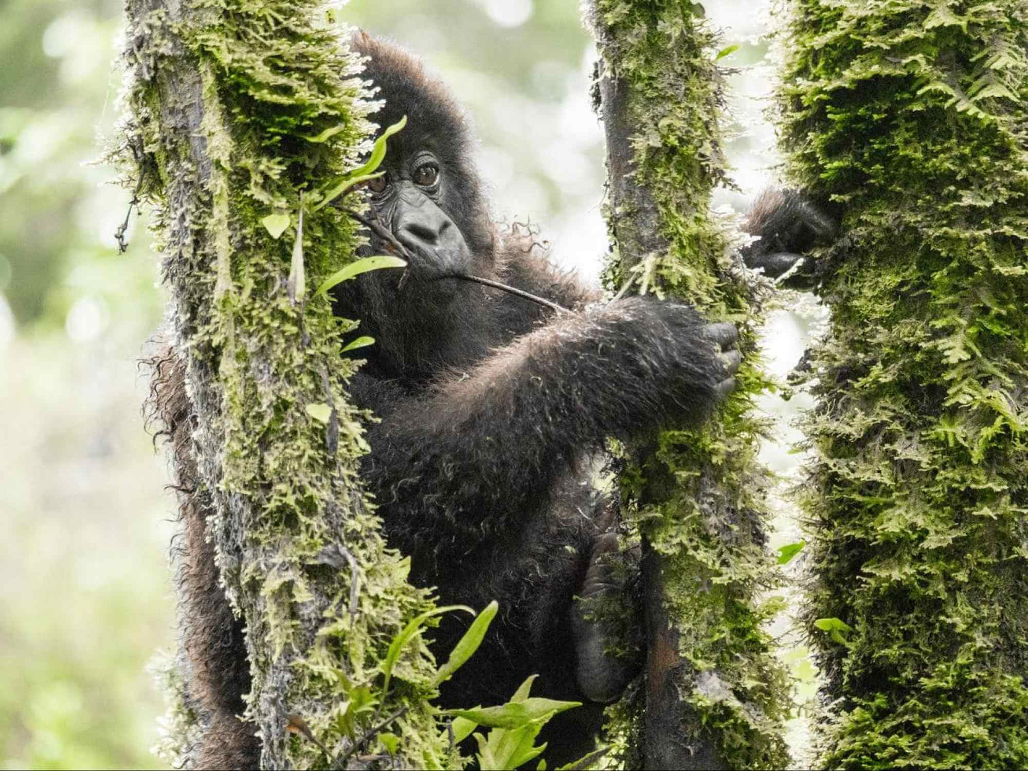 A young gorilla trying to climb the tree