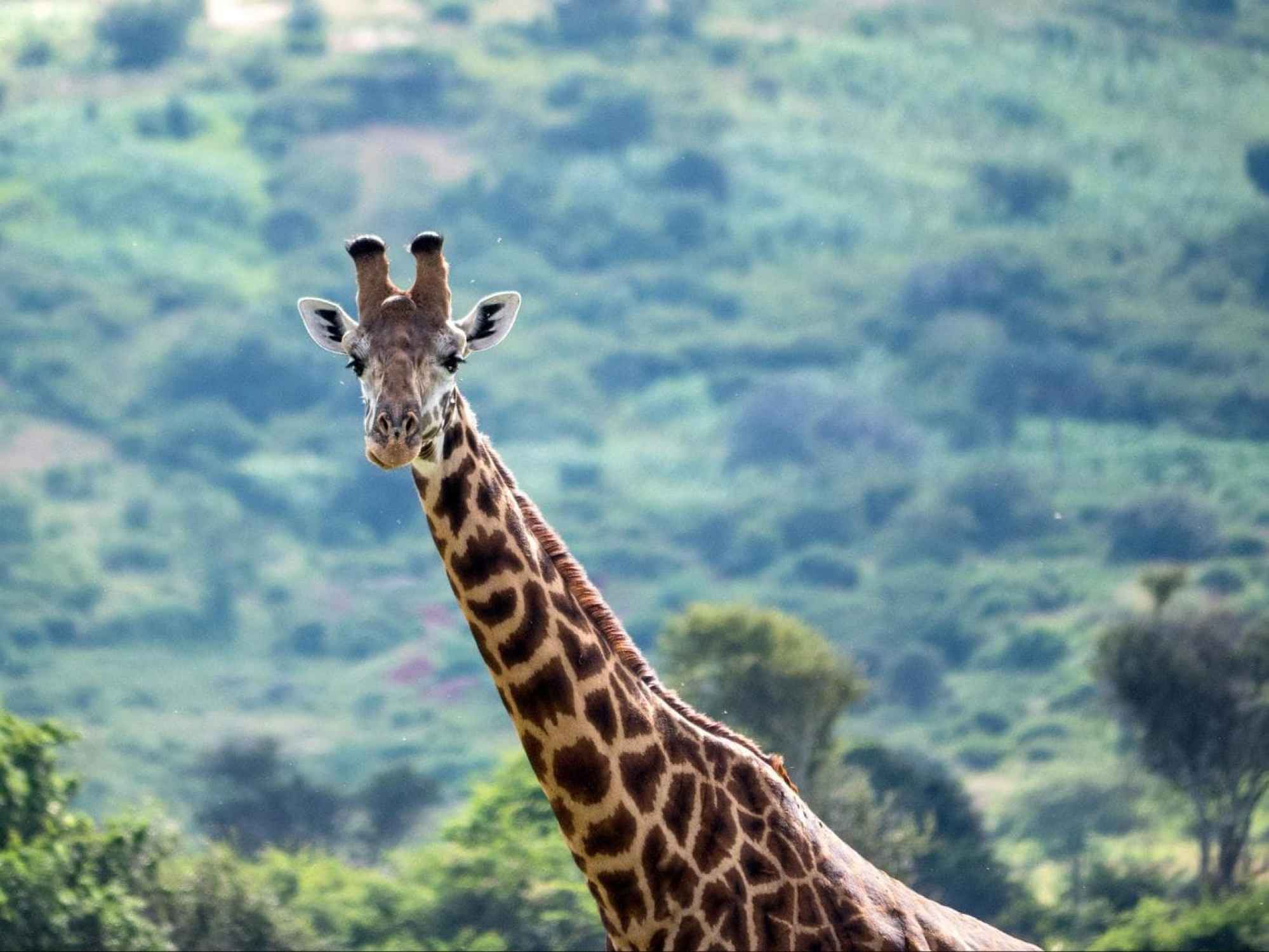 Giraffes areas of Akagera National Park