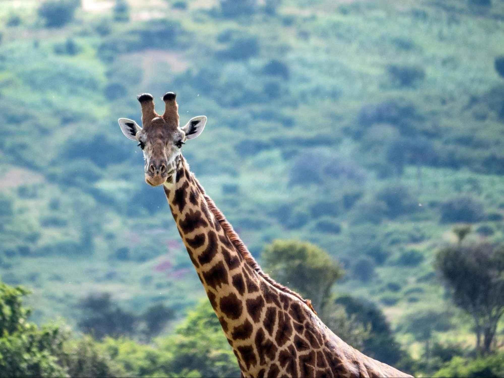 Giraffes areas of Akagera National Park