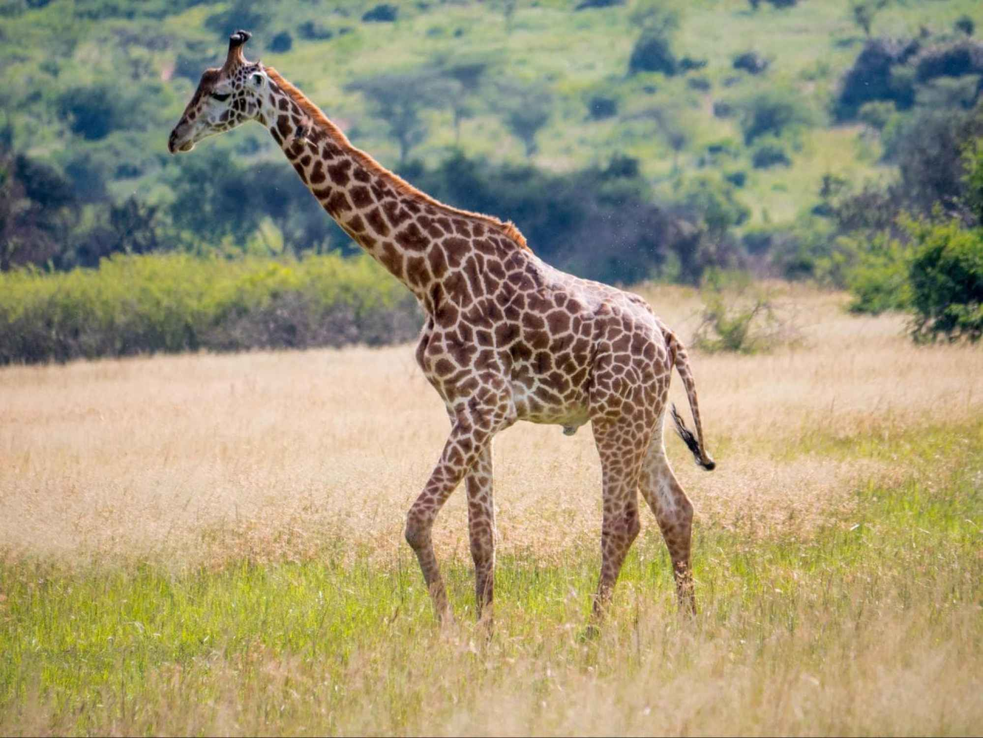 Giraffes at Akagera National Park