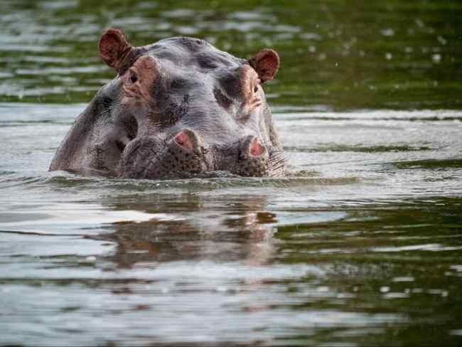 Hippo at Akagera National park