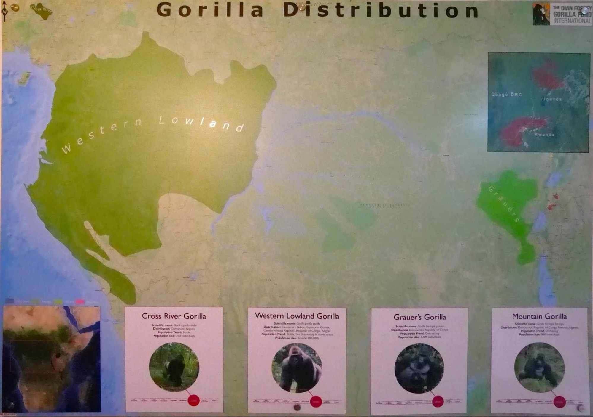 Map with the types of gorillas and where they live in Africa