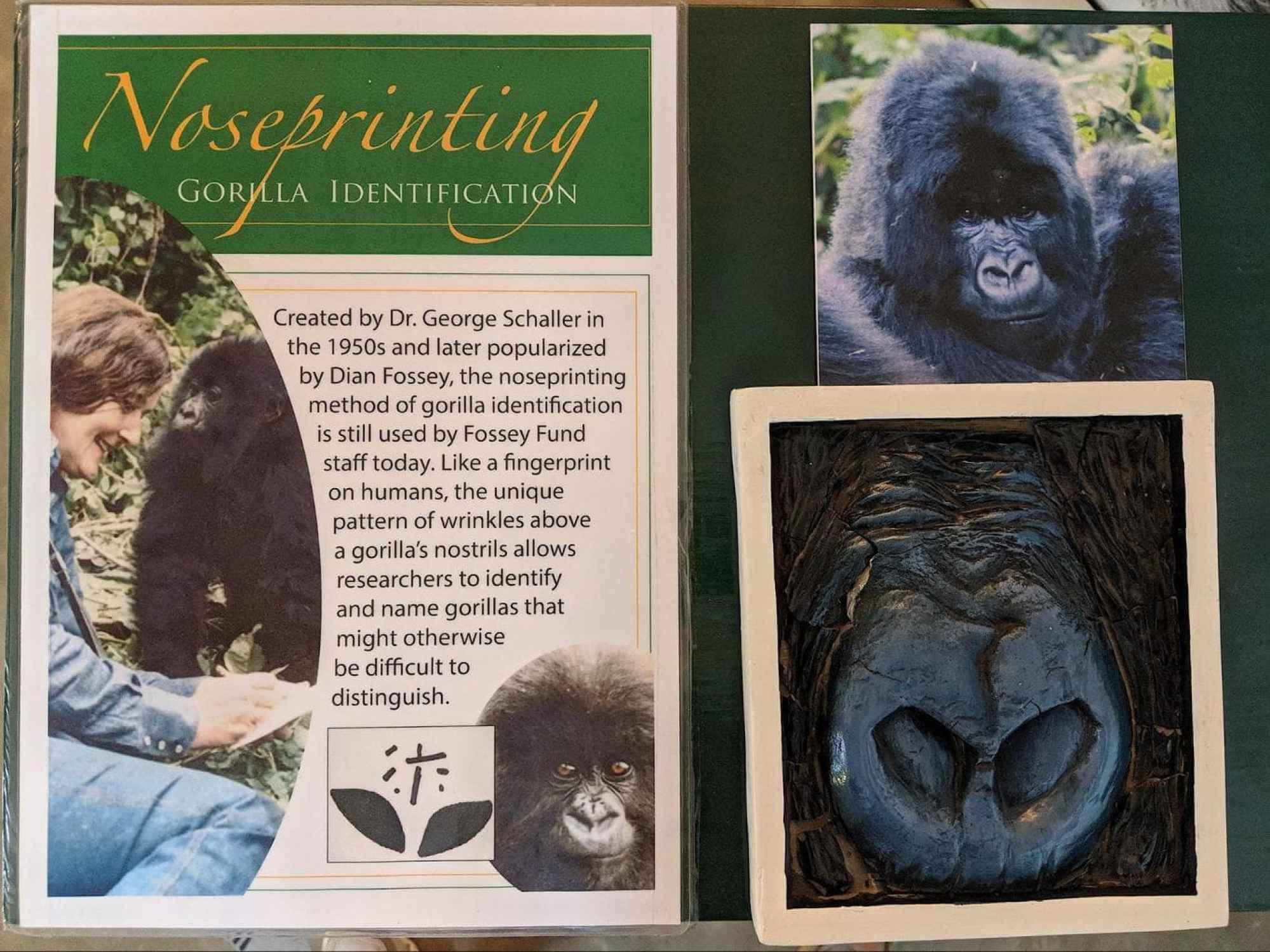 Noseprint explanation from the Gorilla Fund museum in Rwanda