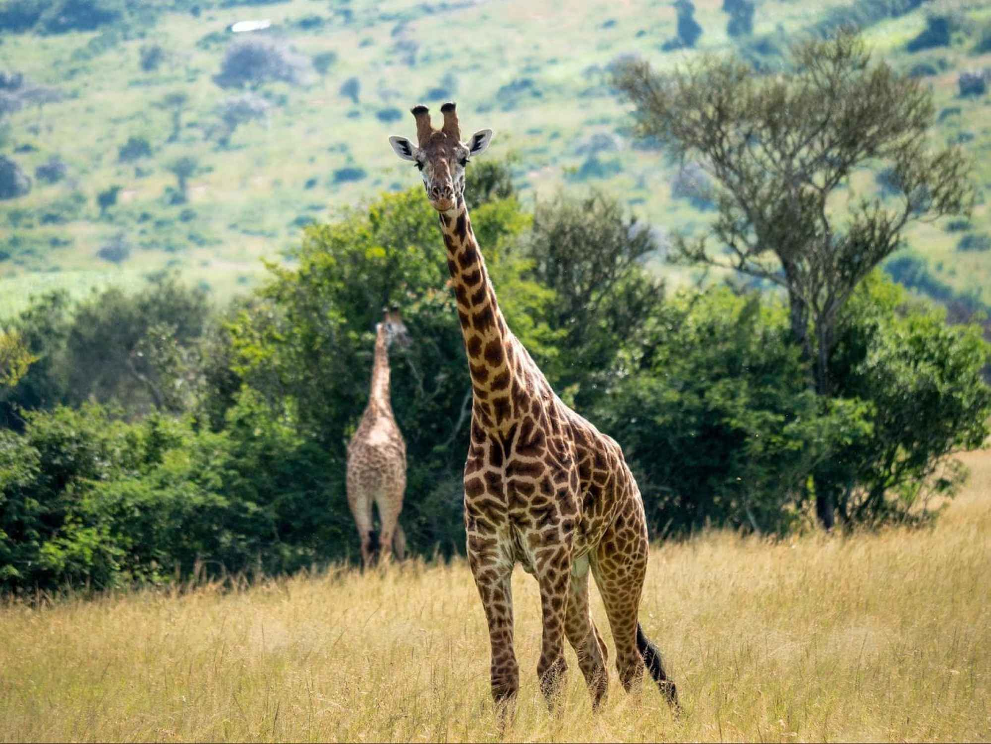 The savannah areas of Akagera National Park with several giraffes
