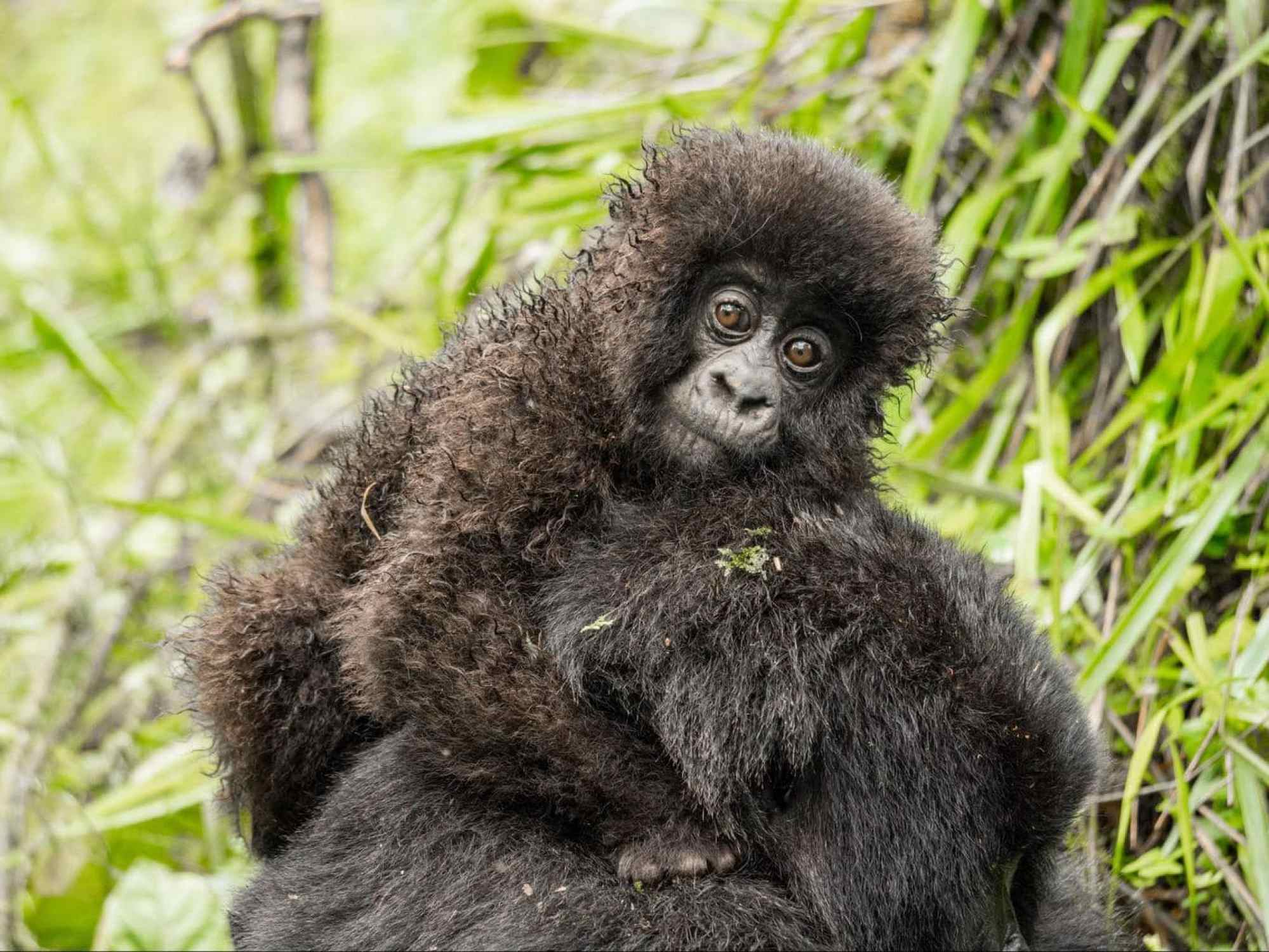 Who can resist this little baby gorilla?