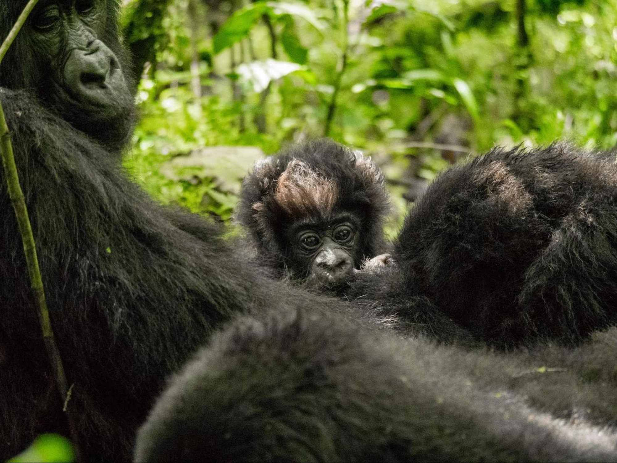 A baby gorilla in Volcanoes National Park