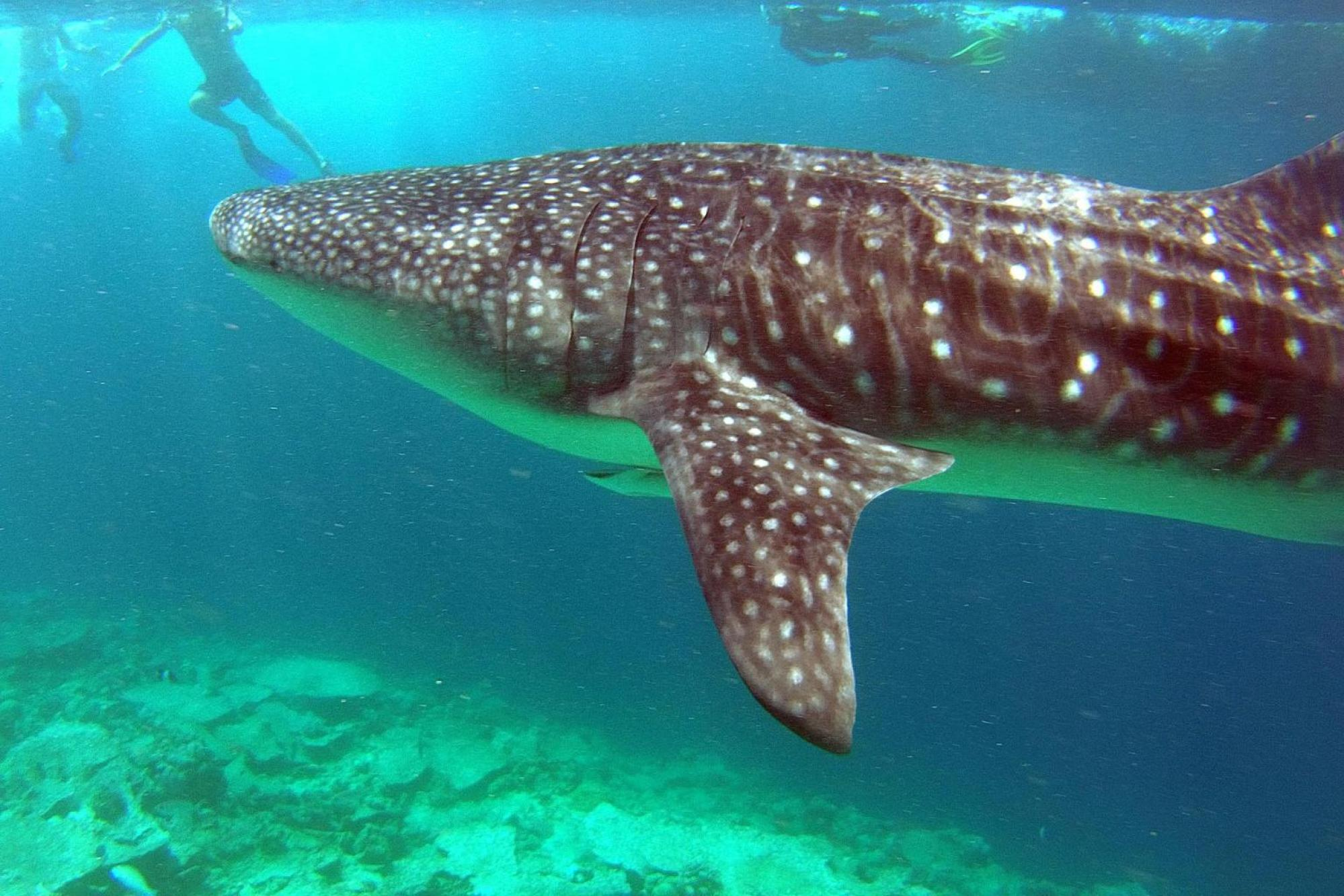 Whale sharks near LUX* Maldives - Photo provided by the LUX* team
