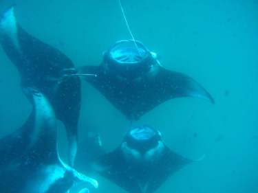 The many manta rays in the Maldives