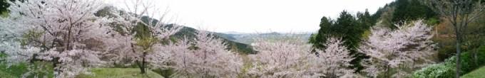 2016.04.10花見02滋賀県東近江市観音正寺