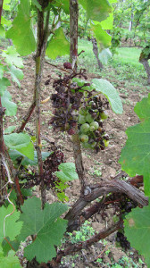 Hail-damaged grapes in Entre deux Mers in 2013
