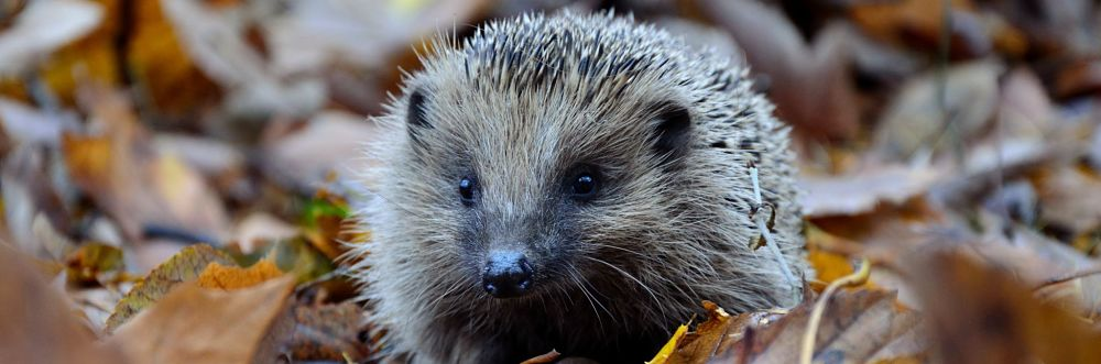 Hedgepig gin supports hedgehogs. Photo by Piotr Łaskawski on Unsplash