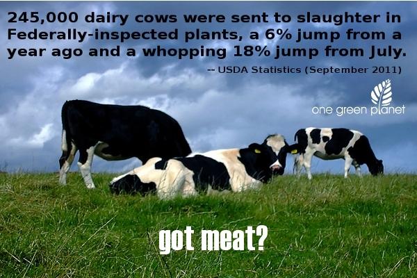 milk is murder got meat slaughter death