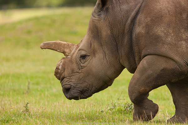 rhino conservation poisoning horns