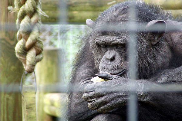 Decision to Stop Using Chimps in Research Could Come Soon