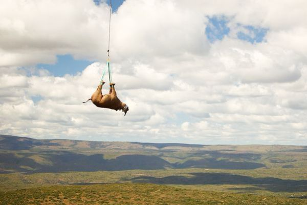WATCH: Rhinos Airlifted to Safety