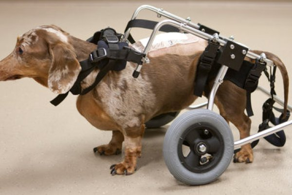 New Drug Expected to Help Injured Dogs Walk Again