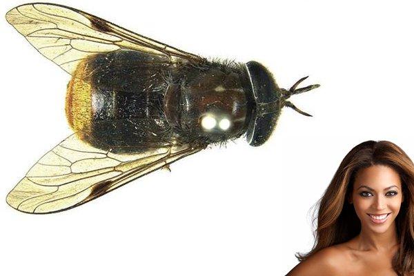 Golden Horsefly Named After Beyoncé