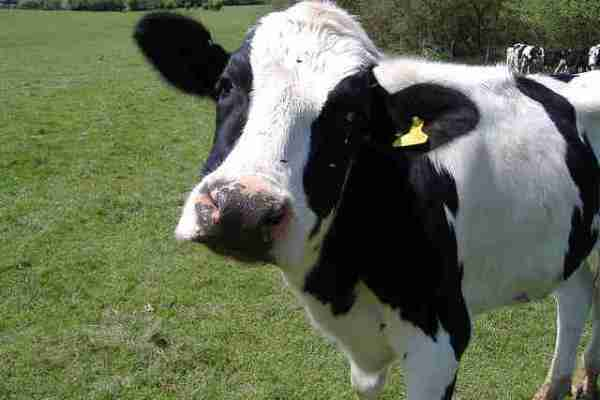 New Bill Seeks to Ban Slaughter of Downer Cows