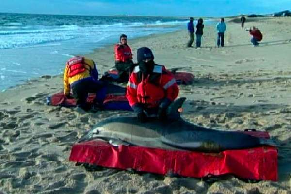 Dolphins Stranded on Cape Cod Shores