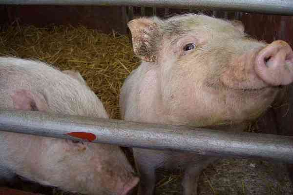 New HSUS Video Exposes Gruesome Cruelty at Pig Farms