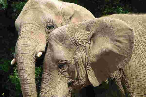 Sumatran Elephants Now Critically Endangered