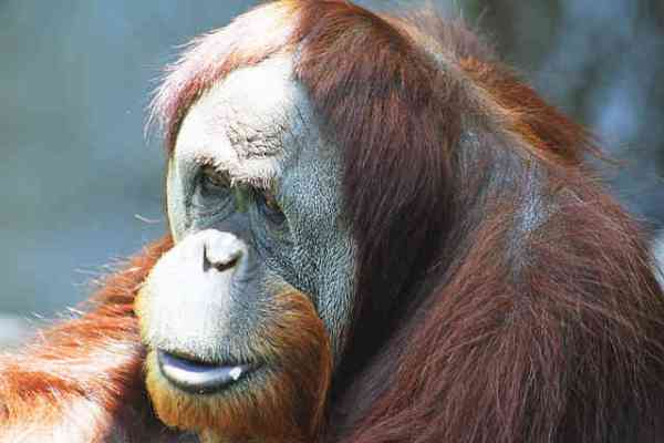 Orangutan Enjoys Special Screening of Film About Orangutans