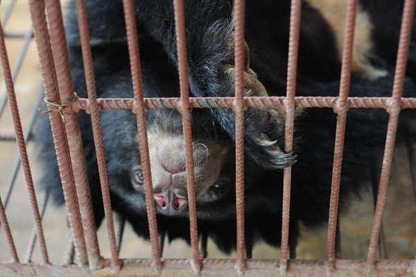 Chinese Public Figures Oppose Company that Produces Medicines from Bear Bile