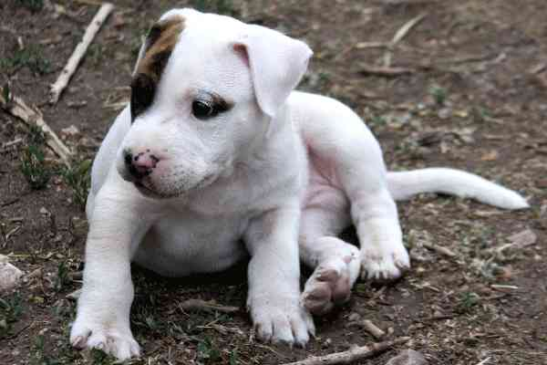 New Programs Give Pitbulls a Helping Hand