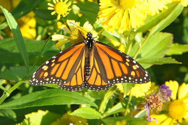 New Study Links Monsanto's GMO Crops to Declining Butterfly Populations