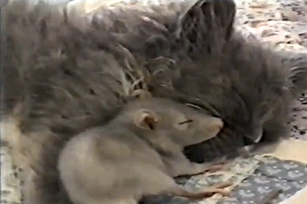 WATCH: Mouse Cuddles Up Next to Kitten