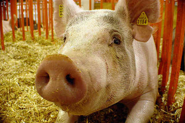 HSUS Files FTC Complaint Against Pork Industry for Deceptive Animal Welfare Claims