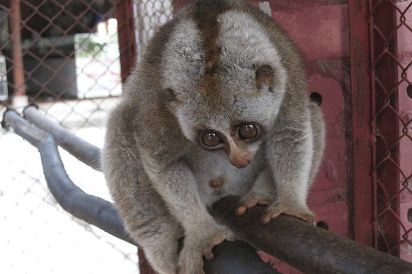 The Perils of Being Cute and Cuddly: Rare Slow Lorises Still Sold as Exotic Pets