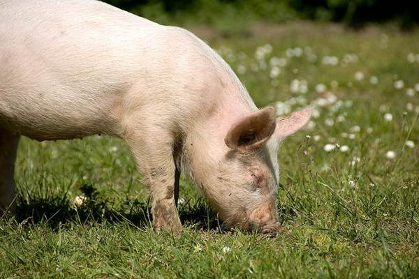 Genetically Modified Pig Project Loses Funding