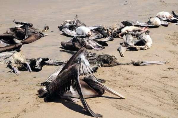 Mysterious Pelican Die-Off in Peru