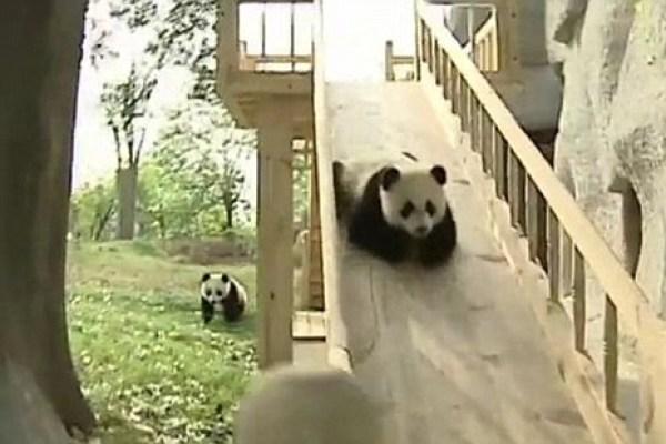 WATCH: Pandas Enjoying a Day at the Playground
