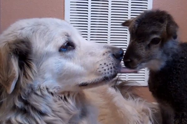 WATCH: Rescue Dog and Little Lamb Kissing!