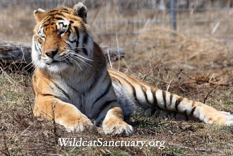 The Wildcat Sanctuary 1