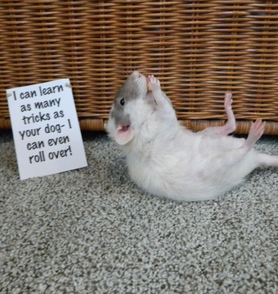 Proof Rats Should be Loved, Not Tested on