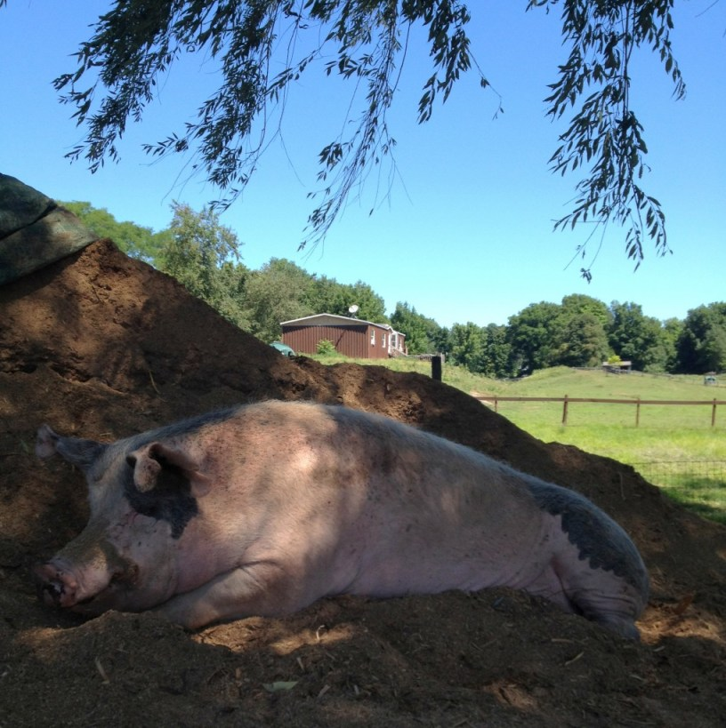 Amazing Rescue Pigs
