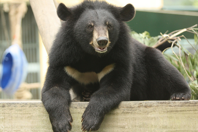 5 Myths About Moon Bears