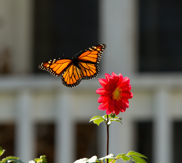 7 Ways to Attract More Butterflies to Your Garden (and Save Them From Extinction)