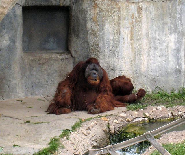 Elder Orangutan