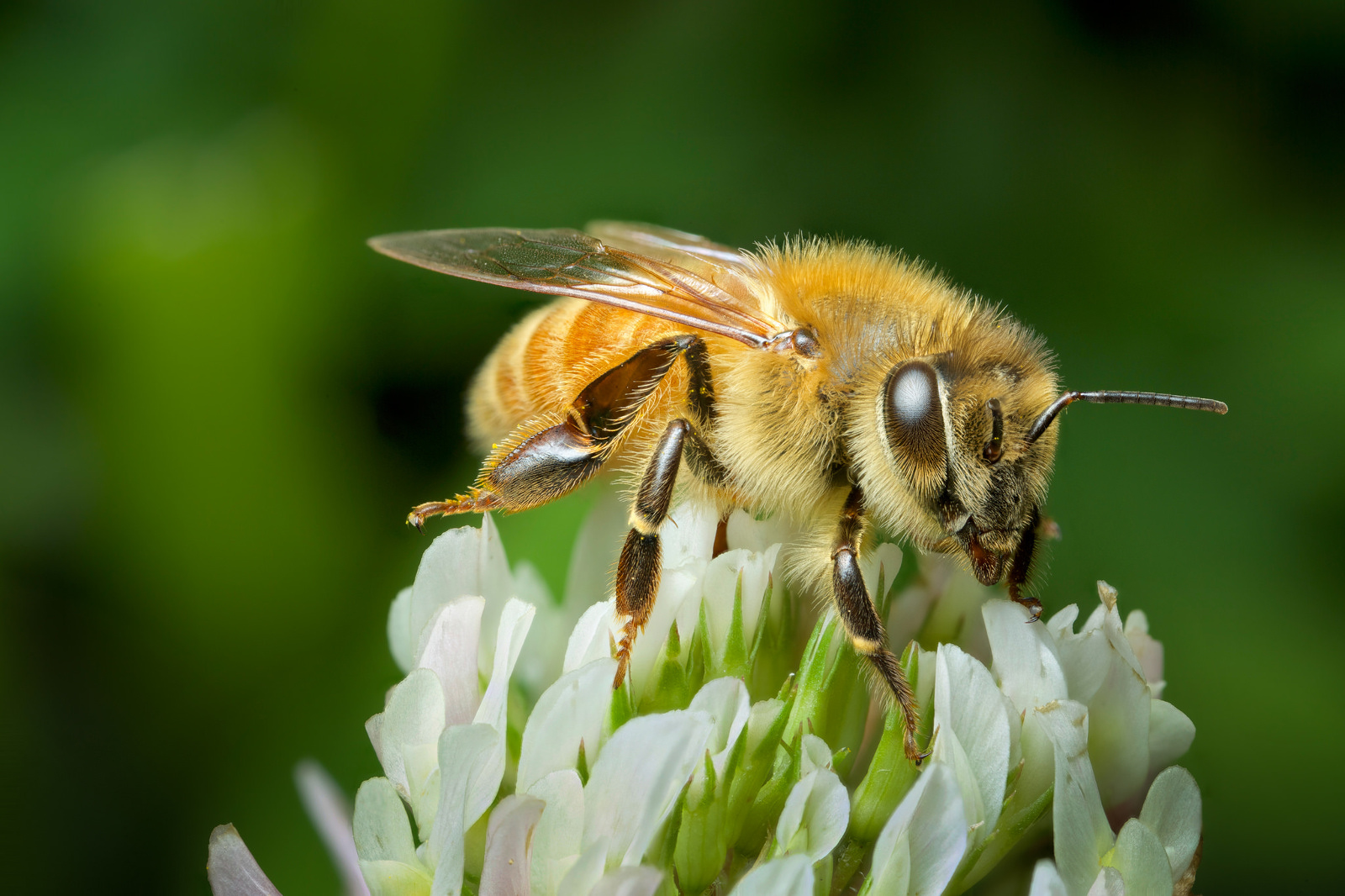 Hope for Honey Bees! New White House Program Works to Restore Declining Populations