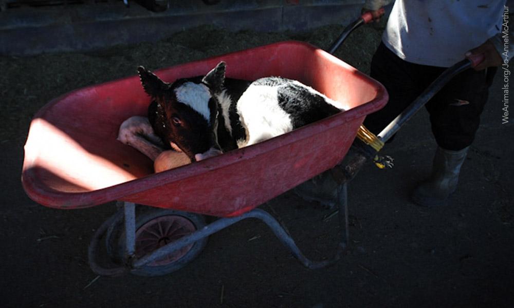 calf-wheel-barrow