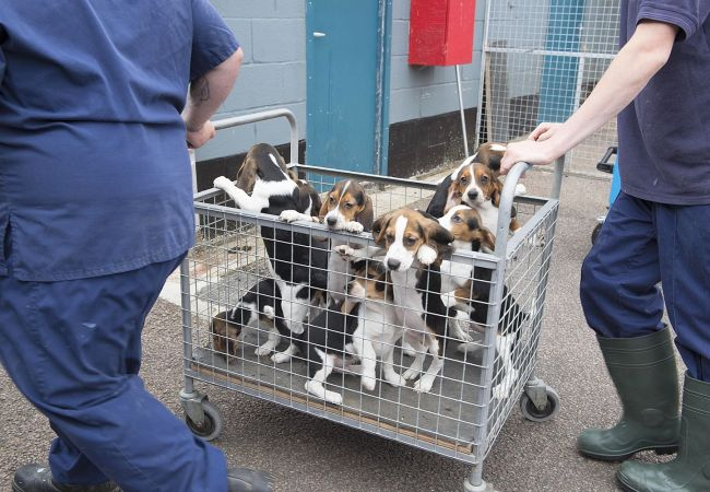 Breeding beagles for medical testing: what you need to know