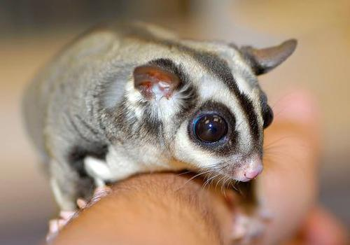 Sugar-Gliders-pet
