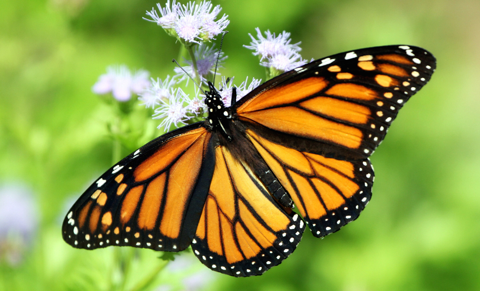 How the butterfly can shape an ecosystem and why we need to how the butterfly can shape an ecosystem and why we need to protect them one green planetone green planet buycottarizona