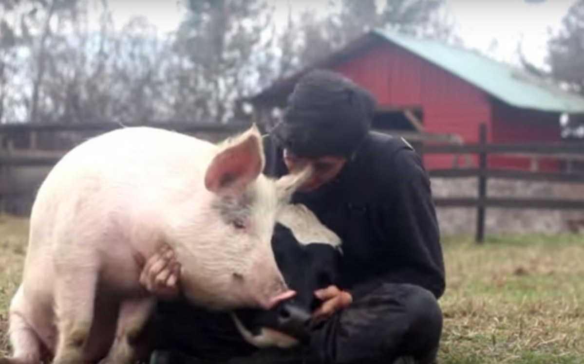 Watch The World S Happiest Rescued Pig Cow Dog And Cat