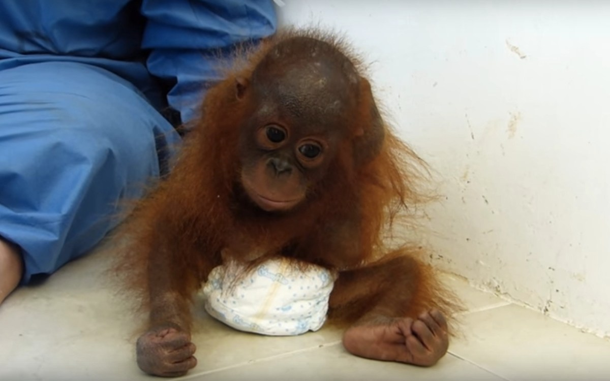 Baby Orangutan Who Was Kept As A Pet For Two Years Can T